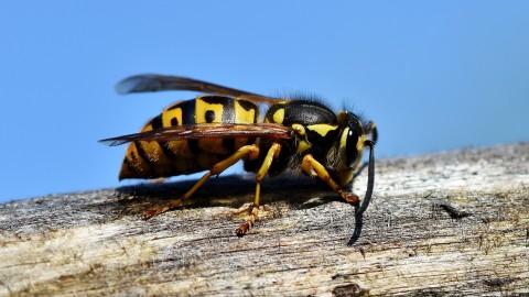 Weg met die wespen
