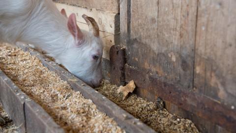 Honderden kilo's bokkenvlees gratis voor de horeca
