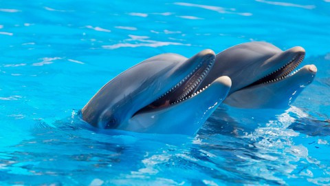 Dolfinarium Harderwijk organiseert een nieuwe dolfijnenvoorstelling Oceanica.